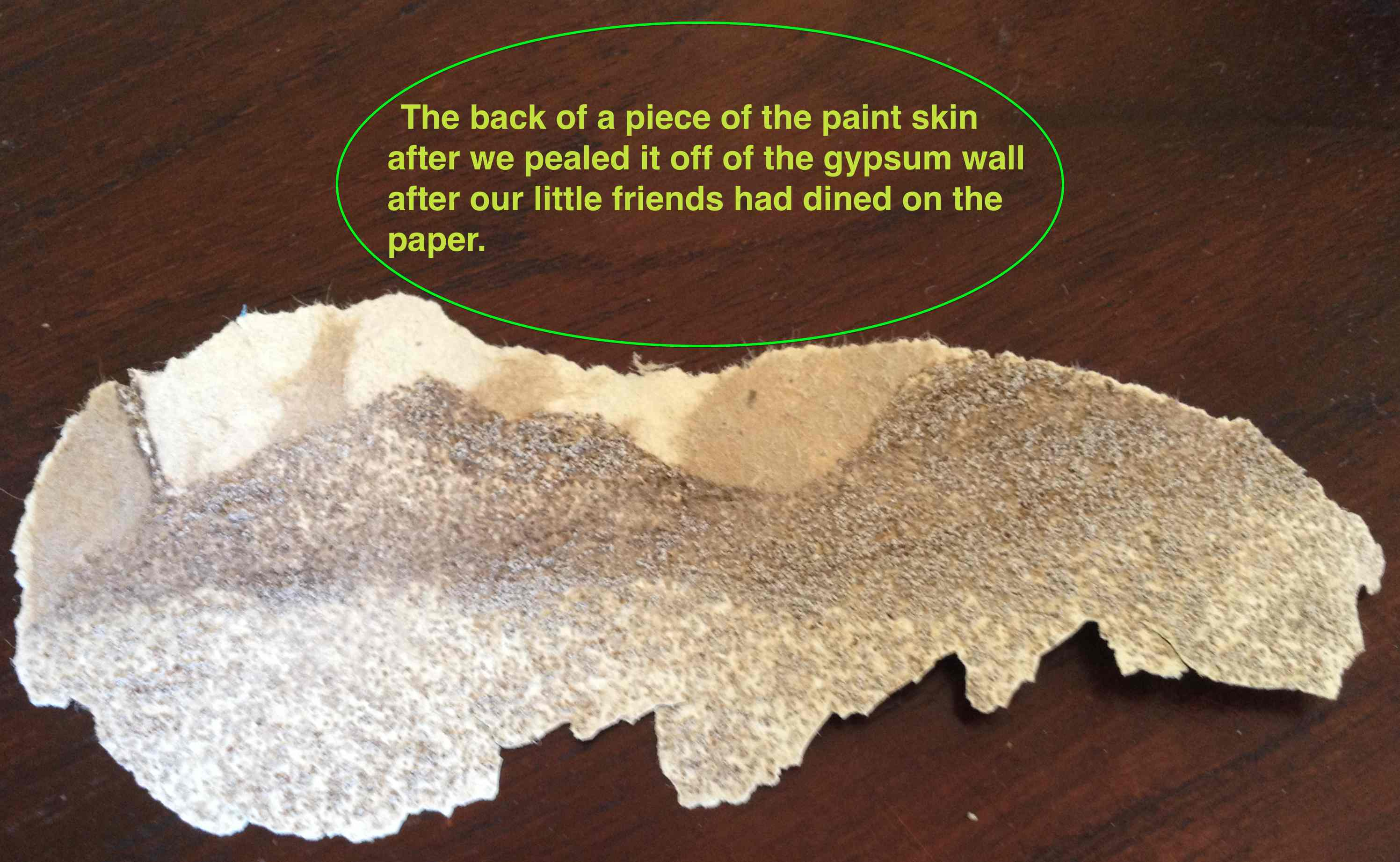 Paint removed from termite infested gypsum board - what we saw from the back.