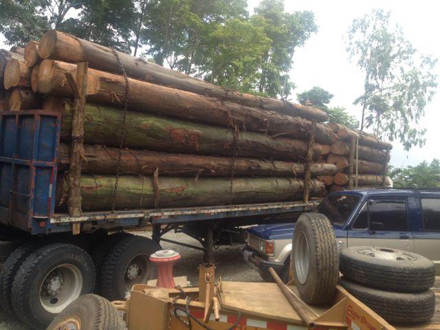 eucalyptus logs