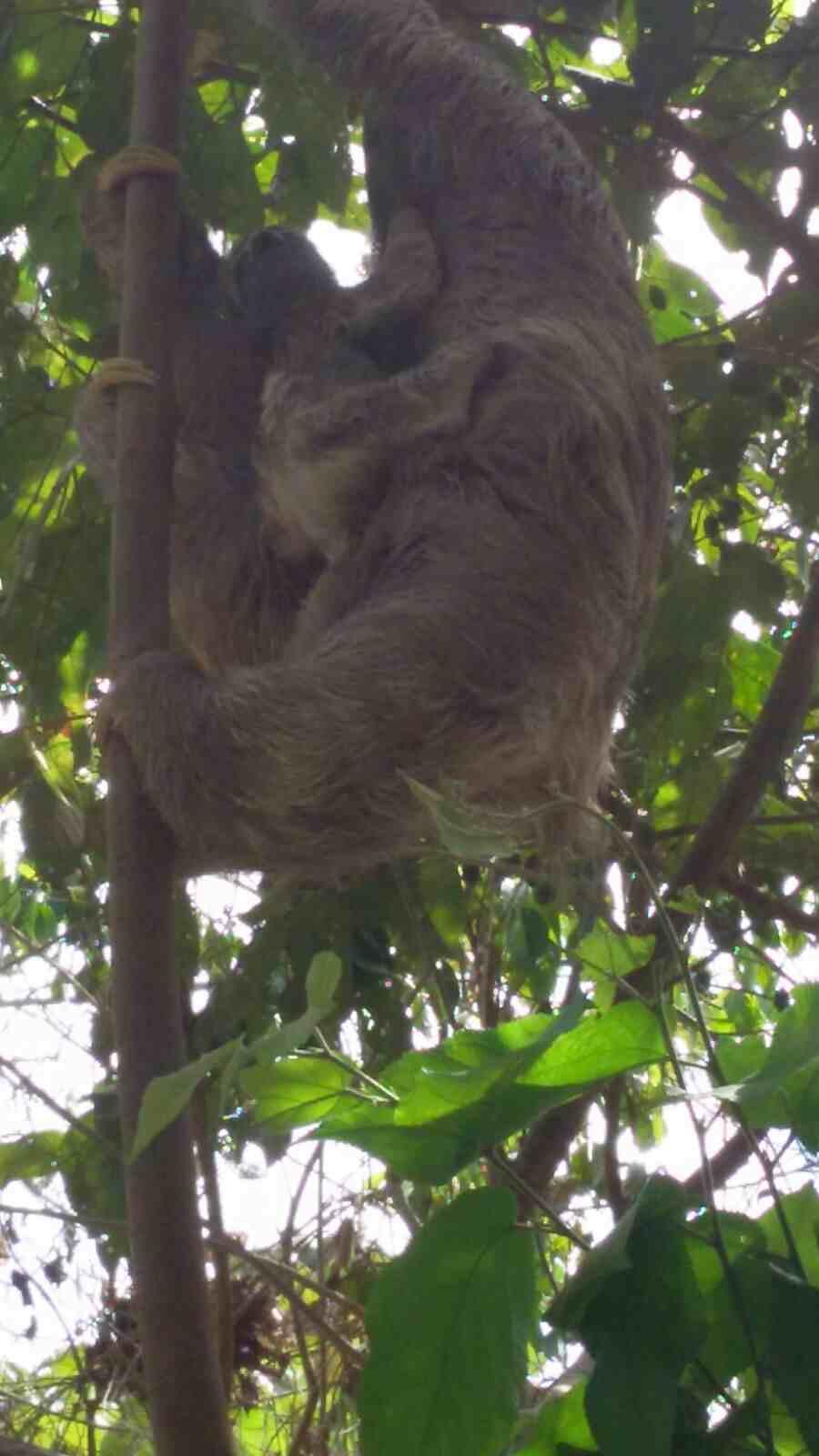 Baby sloth1