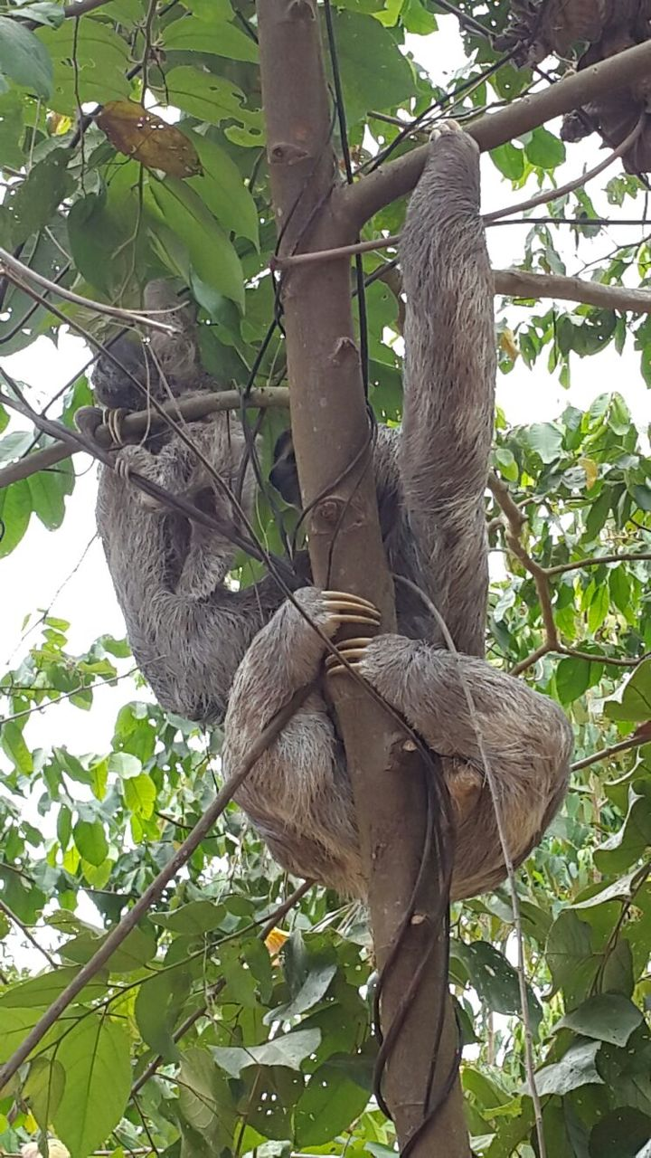 Sloth mom and baby close up